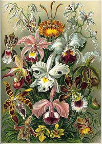 Lukisan Ernst Haeckel, Kunstformen der Natur