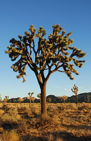 English: Joshua Trees (Yucca brevifolia) at su...