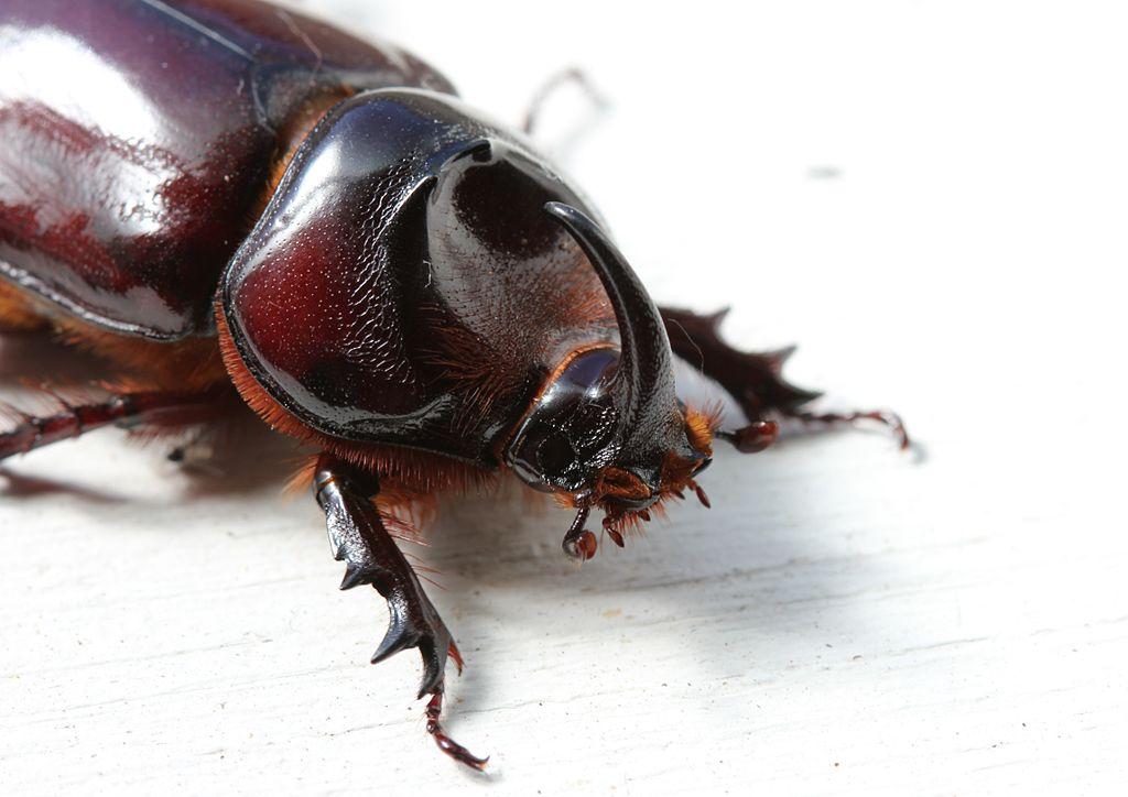File Oryctes Species Rhinoceros Beetle Male Scarabaeidae