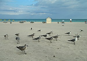 Leucophaeus atricilla English: Laughing Gulls ...