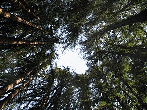 English: A sequoia sempervirens (California re...