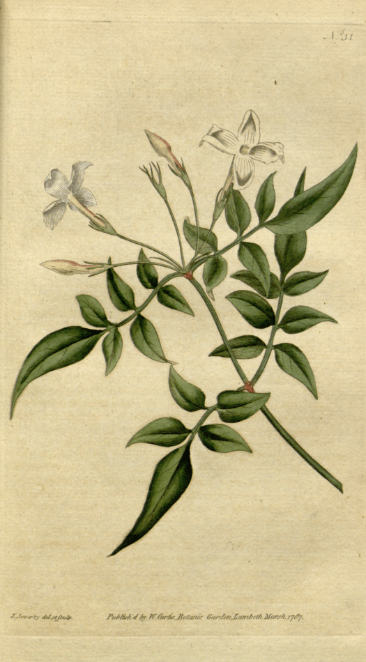 《植物學雜誌》(1787)Jasminum officinale
