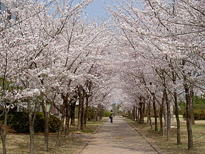 Cherry blossoms at POSTECH