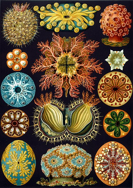 https://i0.wp.com/upload.wikimedia.org/wikipedia/commons/thumb/2/22/Haeckel_Ascidiae.jpg/426px-Haeckel_Ascidiae.jpg