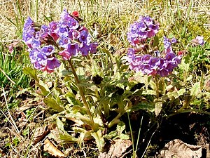 Lungwort (Pulmonaria officinalis) - geograph.o...