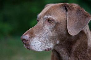 File:Old dog noah (1 of 1).jpg
