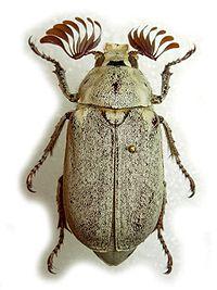 Melolonthinae Wikipedia La Enciclopedia Libre