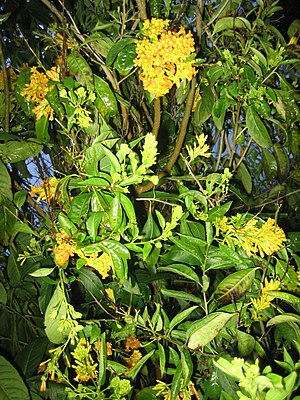Cestrum-species