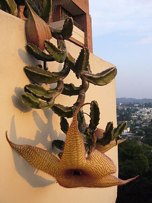 English: Stapelia gigantea Español: Stapelia g...