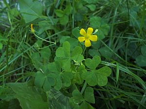 English: these are 3 leaf clovers, and a flowe...