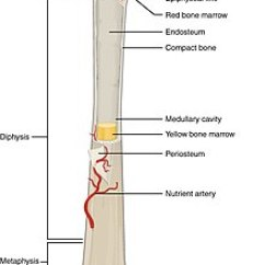 Rat Muscle Anatomy Diagram 700r4 Plug Wiring Bone - Wikipedia