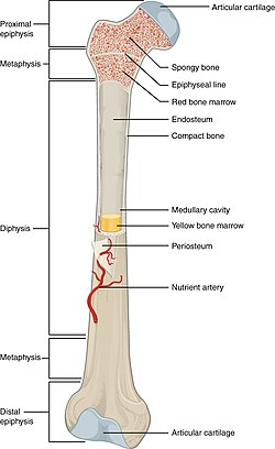 diagram of a bone inside 2000 dodge dakota wiring radio long wikipedia