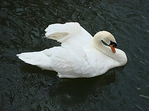 English: A swan afloat