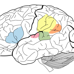 Brain Diagram Without Labels Two Speed Motor Wiring Angular Gyrus Wikipedia