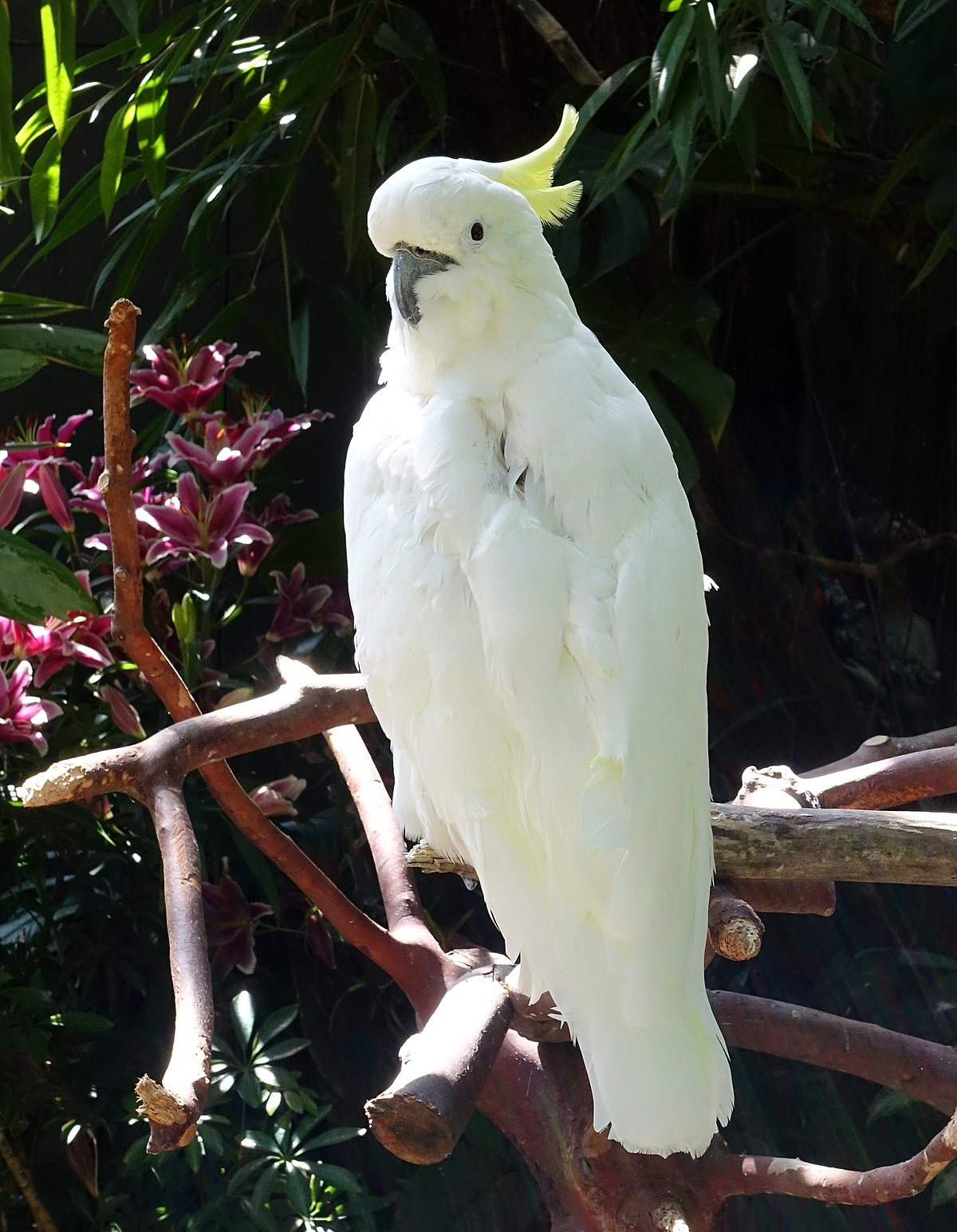 Greater sulphurcrested cockatoo  Wikipedia