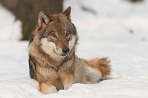 A wolf (canis lupus)