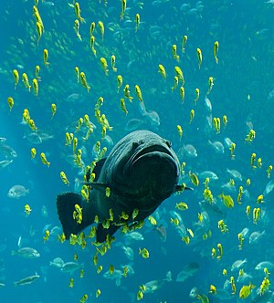 A Giant grouper (Epinephelus lanceolatus) take...