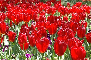 Red tulips.