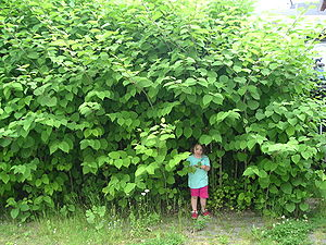 Several invasive species of knotweed form larg...
