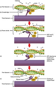 cardiac muscle tissue diagram labeled 2004 dodge stratus headlight wiring contraction - wikipedia