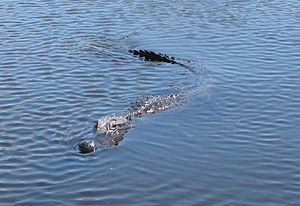 Deutsch: Everglades/Florida in den Everglades/...