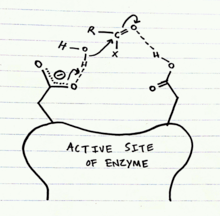 Structural Biochemistry/Enzyme/Aspartyl Proteases
