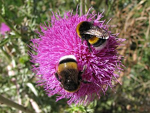 Two bumblebees foraging on a flower, taken at ...