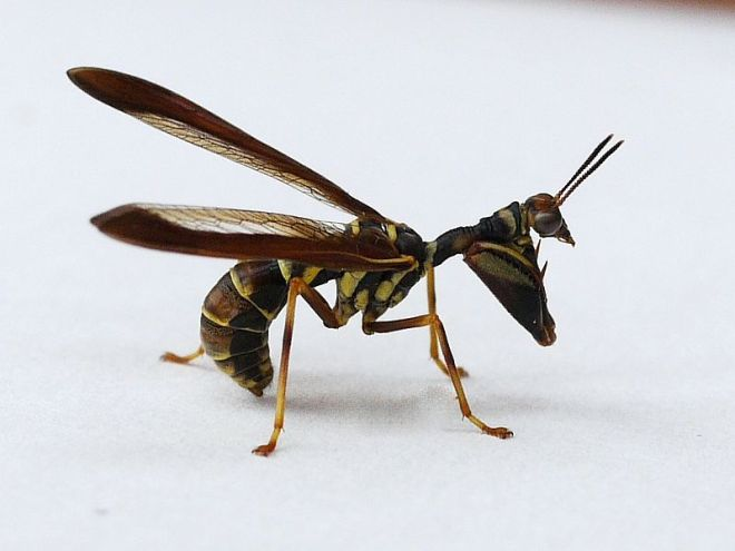 Climaciella brunea, a North American mantidfly and wasp mimic.