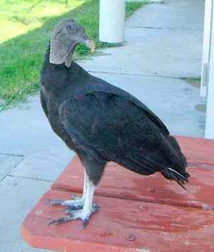 American Black Vulture Coragyps atratus, one o...