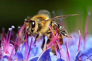 Honey bee on blue flower
