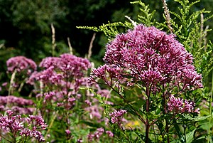 English: Joe Pye Weed