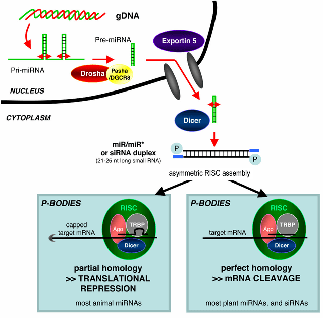 «Rnai diagram retrovirology» de Anne Saumet and Charles-Henri Lecellier - Saumet A, Lecellier CH. (2006). Anti-viral RNA silencing: do we look like plants? Retrovirology 3:3. http://www.retrovirology.com/content/3/1/3. Disponible bajo la licencia CC BY 2.0 vía Wikimedia Commons - http://commons.wikimedia.org/wiki/File:Rnai_diagram_retrovirology.png#/media/File:Rnai_diagram_retrovirology.png