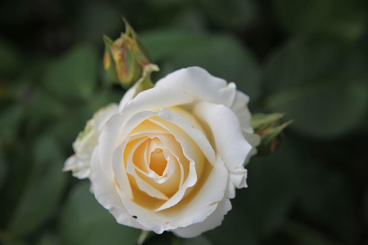 Rosa Chopin Wikipedia