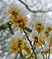 Witch hazel in the snow
