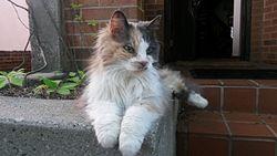 Cat Coat Genetics Wikipedia