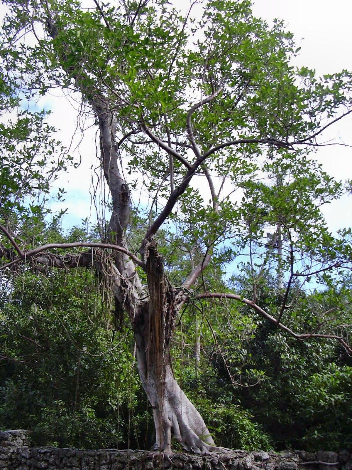 Fig Tree Wood