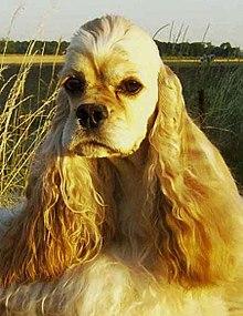 Chien La Belle Et Le Clochard : chien, belle, clochard, Belle, Clochard, Wikipédia