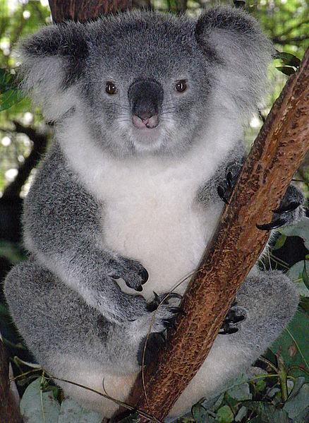 Female Koala (Phascolarctos cinereus) at Billabong Koala and Aussie Wildlife Park, Port Macquarie, New South Wales, Australia. By Quartl 2009