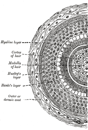 Cross section of a hair
