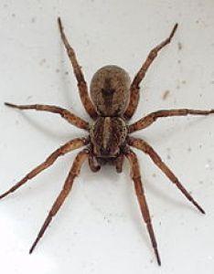 Wolf spider also wikipedia rh enpedia