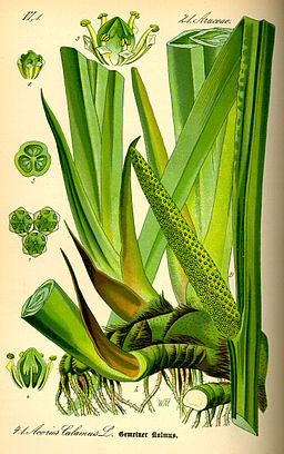Illustration Acorus calamus0