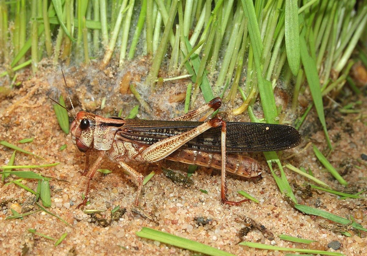 Locust  Wikipedia