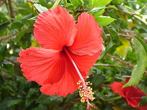 English: Red Hibiscus 'Psyche' in Chennai (Tam...