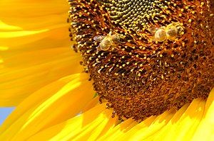 Sonnenblume mit Bienen, Sunflower with bees
