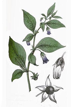 Atropa belladona L ag1
