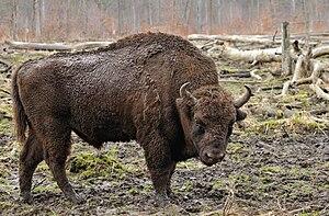 Mini-bison