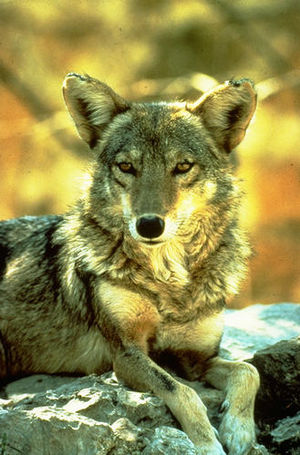 The coyote (Canis latrans), the animal on whic...