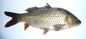 Carpas y carpines silvestres como peces de acuario