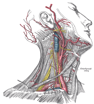 nerves in neck and shoulder diagram 1987 kawasaki bayou 300 wiring head anatomy wikipedia right side of dissection showing the brachiocephalic common carotid artery its branches