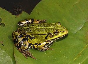 English: Edible Frog, Pelophylax esculentus (s...